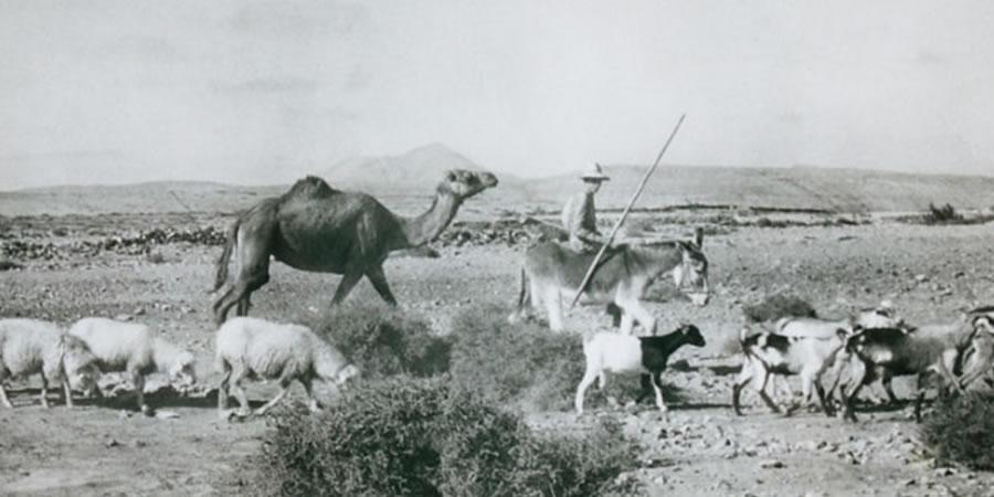 -fuerteventura-cabras