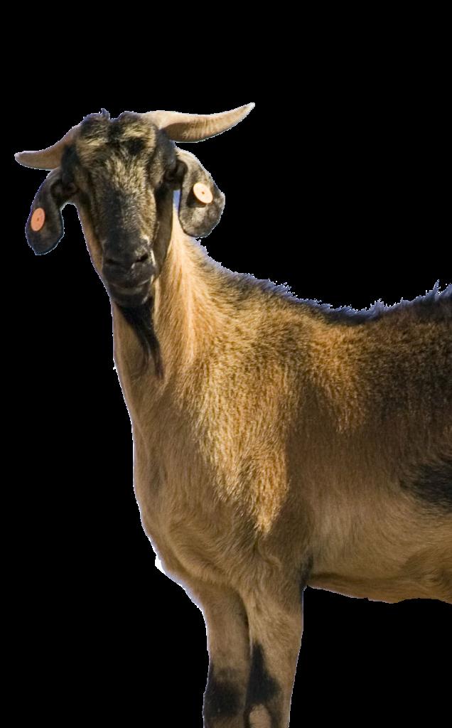 cabra-majorera